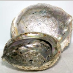 Abalone Shell Incense Burner 45-IBABA